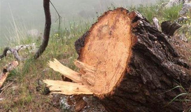 قطع 50 شجرة معمرة في عندقت.. وجريصاتي يتحرك