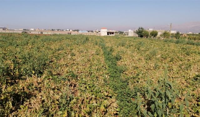 مزروعات لبنان تموت عطشاً ومئات الدونمات