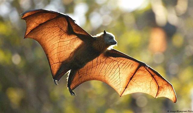 الخفافيش وكورونا.. دراسةٌ ضخمةٌ تكشف الخطر