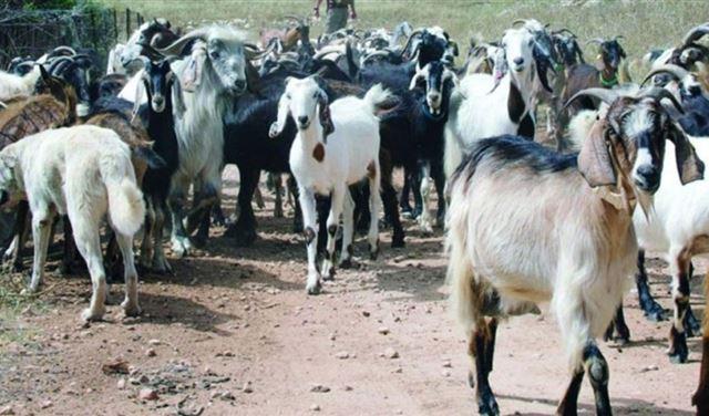 إسرائيل سرقت الماعز في كفرشوبا
