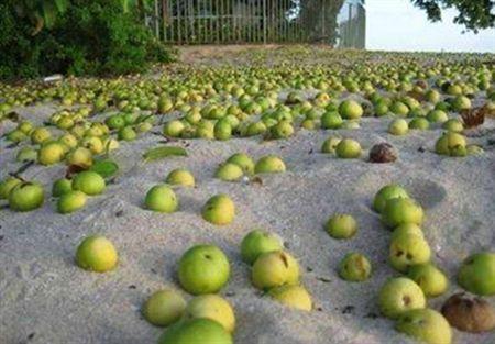 تفاحة الموت HXLFTVYYHM