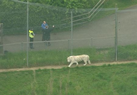 نمر يقتل حارسة في حديقة حيوان بريطانية