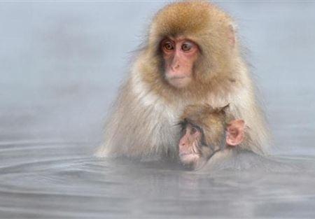 """مجزرة بحق قرود باليابان بسبب """"جينات غريبة"""""""