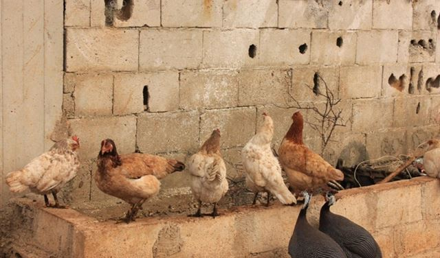 سرقةُ 700 دجاجة في عكار!
